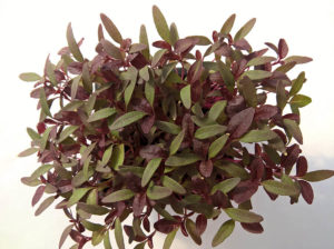 Vörös amarant - Mikrozöldség
