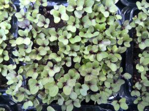 Fodroskel - Mikrozöldség