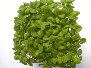 Bazsalikom - Zöld - Mikrozöldség - Tálca