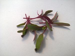 Cékla - Mikrozöldség - Izolált levelek