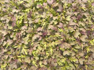 Mizuna - Vörös - Saláta