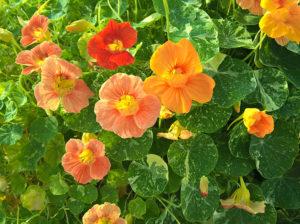 Sarkantyú - Virág - Növény