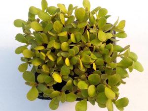 Porcsin - Mikrozöldség