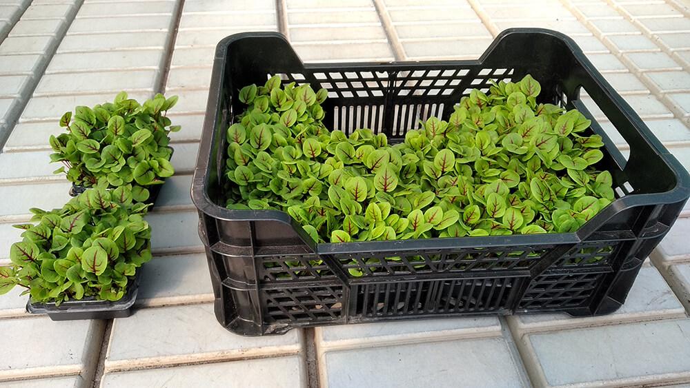 Mikrozöldek - Rendelhető fajtánként, darabra, 10×10 cm-es műanyag tálcán, 12 db műanyag tálca/láda